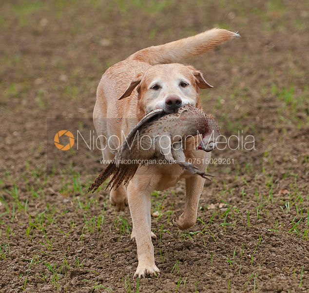 A gin dog carries a pheasant on a game shoot