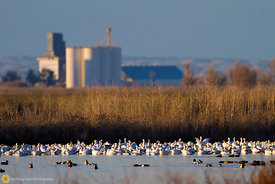 Snow Geese and Silo