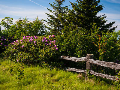 Rhododendron Fence 2