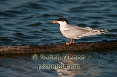 Forster's Tern, Redwood Shores, CA, USA