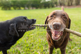 lab holding stick smiling with other dog tries to steal