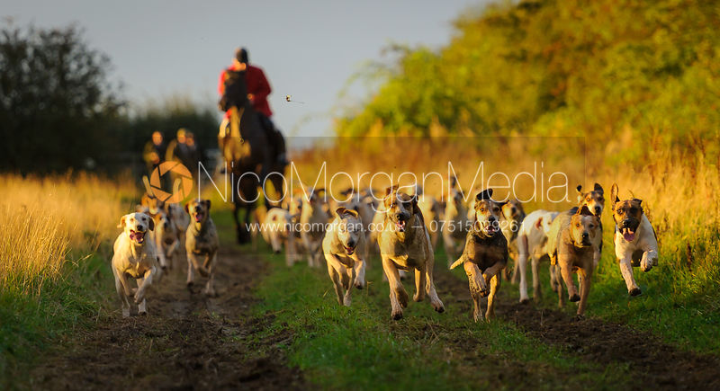 Huntsman and hounds in the dawn sun - The Cottesmore Hunt at Betts Barn 27/9