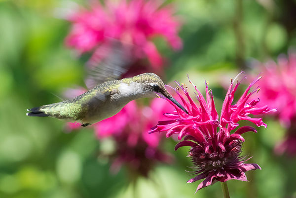 Ruby-throated Hummingbird - #1