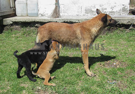 Belgian Malinois feeding her two puppies standing