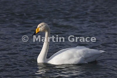 Portrait of Adult Whooper Swan (Cygnus cygnus), Dumfries & Galloway, Scotland