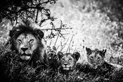 08251-Lion_cubs_and_father_Tanzania_2018_Laurent_Baheux