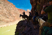 Mule Riders Pause Above The Colorado River- Grand Canyon