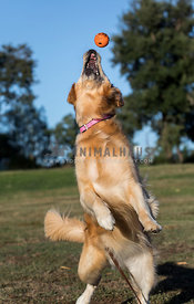 golden retriever jumping to catch ball