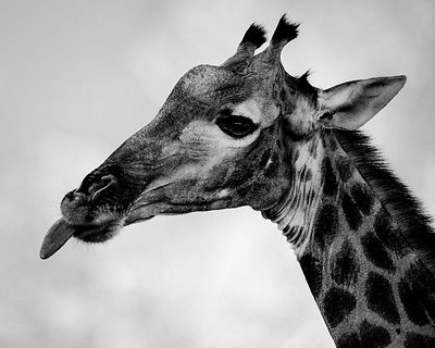 6361-Giraffe_sticks_her_tongue_Laurent_Baheux