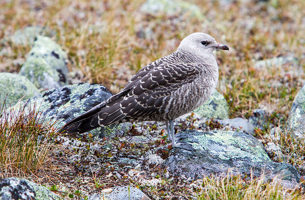 Young Long-tailed Skua