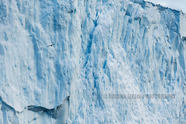 A bird flying in front of a gigantic iceberg gives a sense of scale in the Ilulissat Icefjord