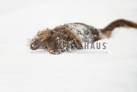 Daschund hiding his face in the snow