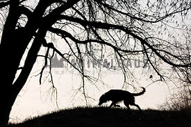 Dog hunting under tree in silhouette