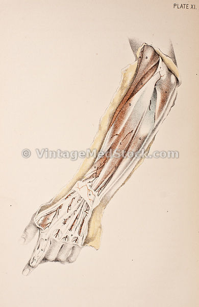 Tendons, Bone and Muscles of Lower Arm