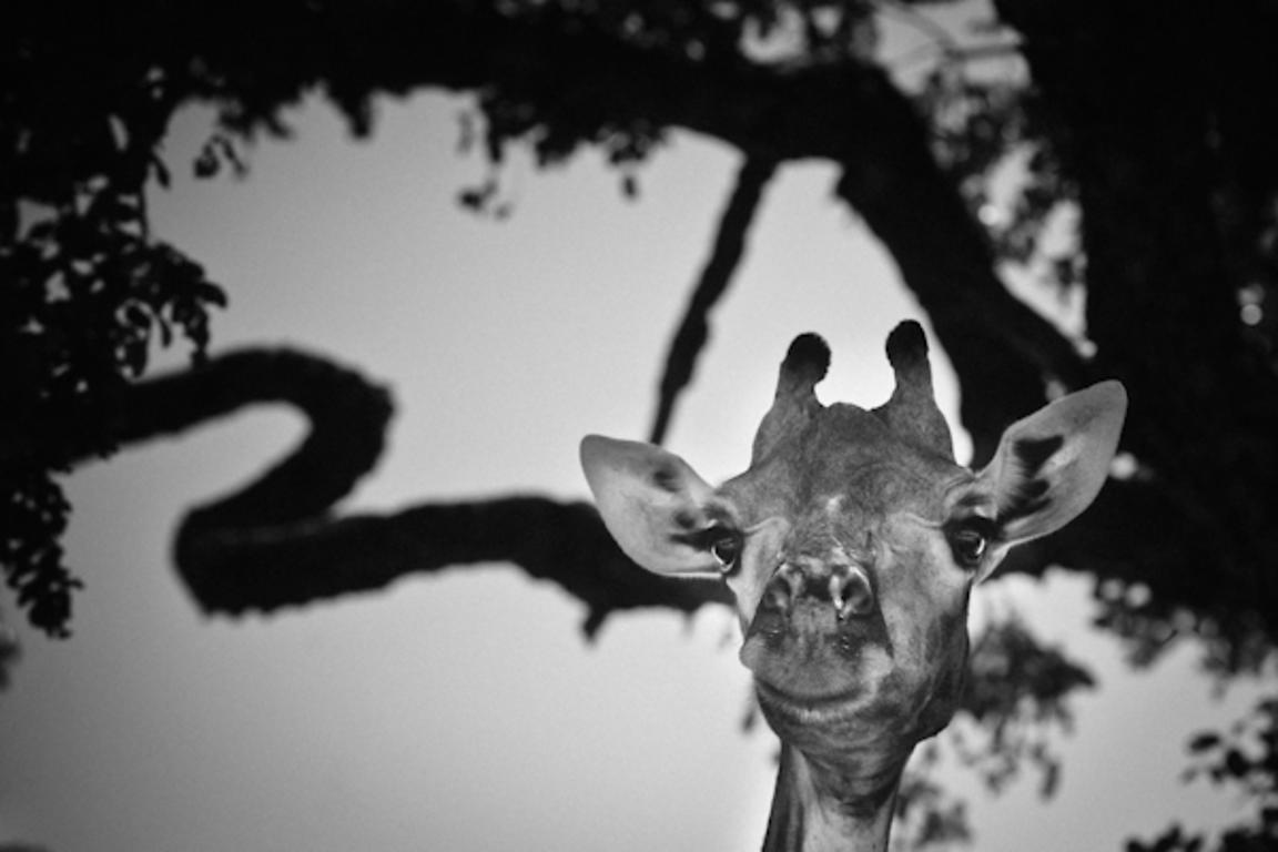 9135-Giraffe_under_an_acacia_tree_Laurent_Baheux