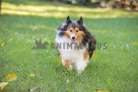 Sweet Sheltie runs through a grassy field with ears back