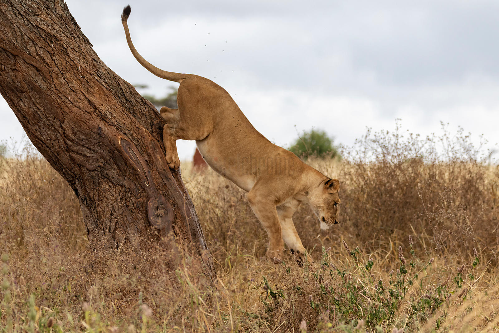 Lion Jumping out of an Acacia Tree