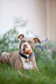 Pitbull-Boxer-Mix-In-Grass-Chuckit-Ball-in-mouth