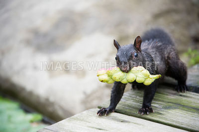 Black squirrel with fruit in mouth