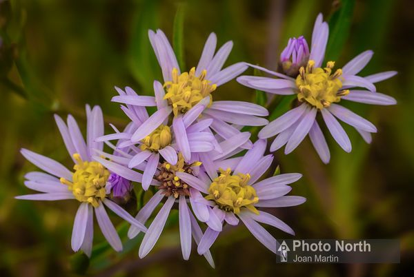 ASTER 01A - Sea aster