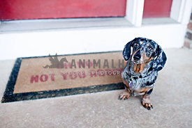 dachshund sitting on front porch with funny welcome mat