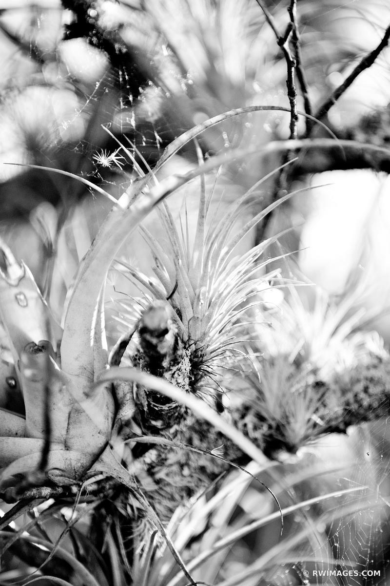 AIR PLANT EVERGLADES NATIONAL PARK FLORIDA BLACK AND WHITE