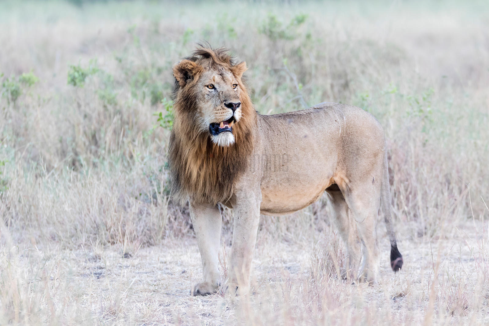 Portrait of a Male Lion.