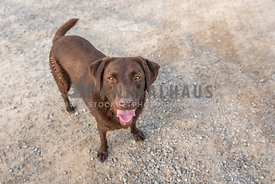Chocolate Lab smiling up at camera standing on a dirt road