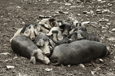 Pigs in Corsican mountain