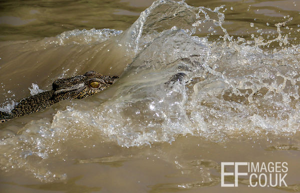 Saltwater Crocodile Splashing