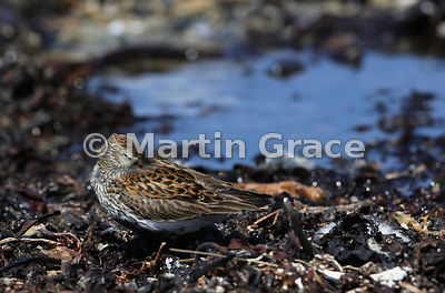 Dunlin (Calidris alpina) roosting with its eye just about shut, Bigton Wick, Mainland South, Shetland