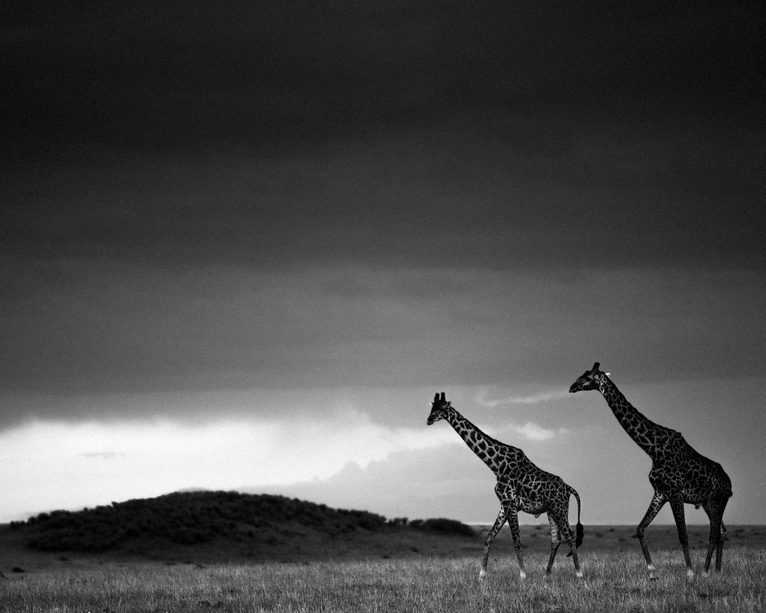 7428-Two_giraffes_in_the_plain_Laurent_Baheux