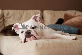 bulldog relaxing on couch