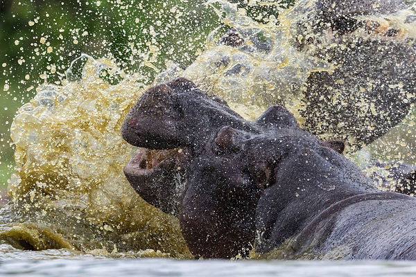 Hippo Splashing in Waterhole