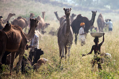 Wonderful scene in a grassy area at the Pushkar Camel Mela, Pushkar, India.