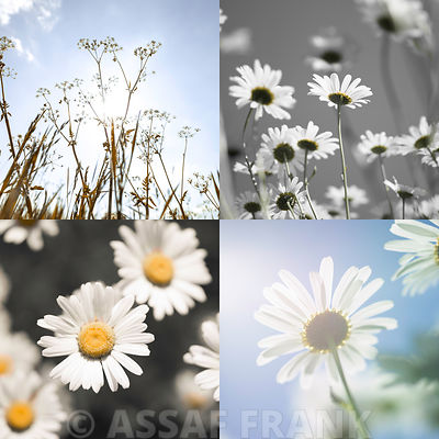 Daisy flowers in collage