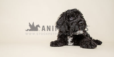 puppy looking up away from camera in studio