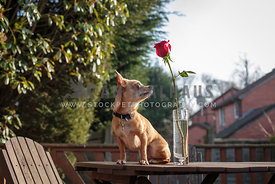 Valentines chihuahua looking at rose