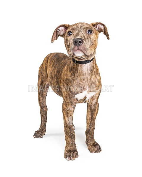 Brown Brindle Puppy Standing on White