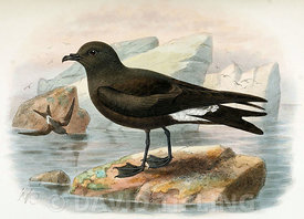 Guadalupe storm petrel (Oceanodroma macrodactyla) by John Gerrard Keulemans from 'Monograph of the Petrels' by Frederick Godm...