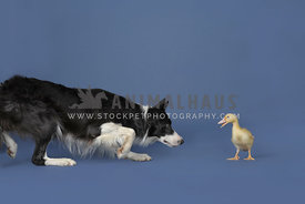 Black and white Border collieherding yellow duck