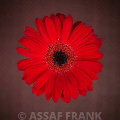 Close-up of red Gerbera daisy with wallpaper in background