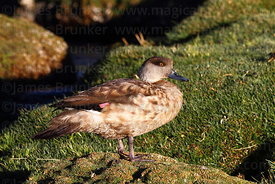 Adult Andean Crested duck ( Lophonetta specularioides alticola ) standing on Andean rush ( Oxychloe andina ) cushion plants i...