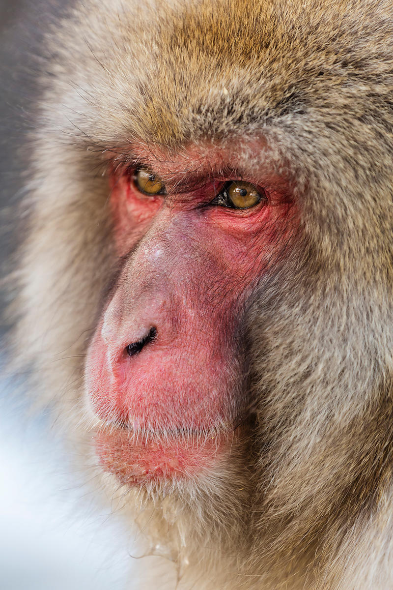 Portrait of a Japanese Macaque in Hot Spring
