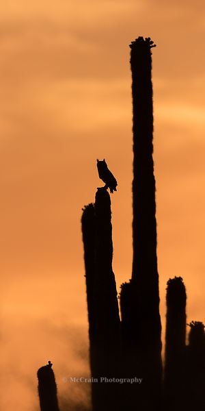 On the way home after the sun had set we saw this Great-horned Owl perched atop a Saguaro. It was a great way to end the day.
