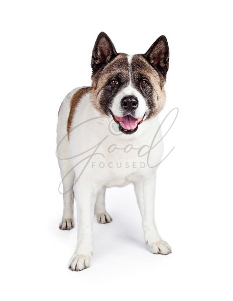 Akita Dog Standing Isolated Over White Background