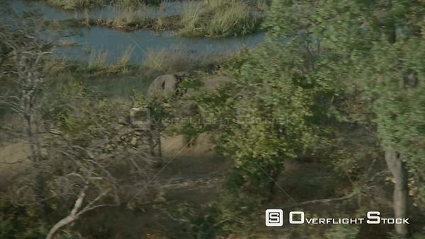 Aerial side view of single elephant walking in tall grass behind trees along riverbank, elephant stops and looks at camera, z...
