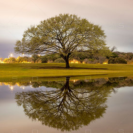 Lone Tree in a Park Austin Texas USA