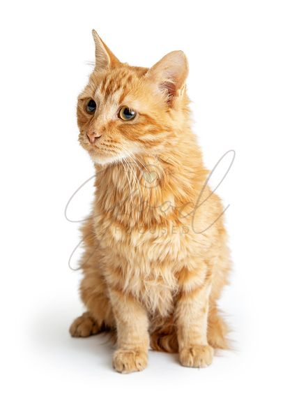 Orange Tabby Cat Long Hair Sitting