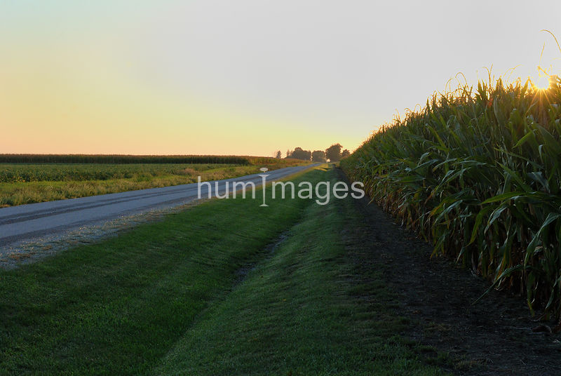 Rural road alongside a field of corn in east central Illinois